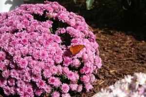 mums_butterflies_karenchatters